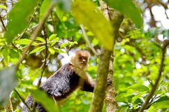 White-headed capuchin monkey. Monteverde, Costa Rica Stock Image