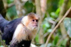 White-headed capuchin monkey. Monteverde, Costa Rica Stock Images