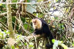 White-headed capuchin monkey. Monteverde, Costa Rica Stock Photos