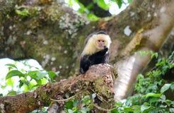 White-headed capuchin monkey. Monteverde, Costa Rica Stock Photography