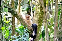 White-headed capuchin monkey. Monteverde, Costa Rica Royalty Free Stock Image
