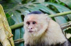 White-headed capuchin monkey. Monteverde, Costa Rica Royalty Free Stock Photography