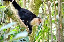 White-headed capuchin monkey. Monteverde, Costa Rica Royalty Free Stock Images