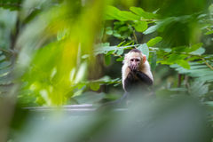 White headed capuchin monkey. In a natural park in Costa Rica stock photo