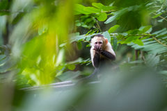White headed capuchin monkey. In a natural park in Costa Rica royalty free stock photo
