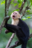 White headed capuchin monkey. In a natural park in Costa Rica stock images