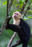 White headed capuchin monkey. In a natural park in Costa Rica stock photography