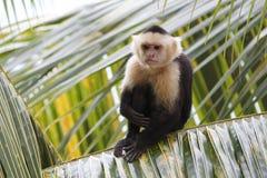 White-headed Capuchin Monkey Sitting in a Palm Tree. White-headed Capuchin Monkey (Cebus capucinus) Sitting in a Palm Tree - Roatan, Honduras royalty free stock photo