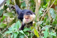 White-headed capuchin monkey. Monteverde, Costa Rica Royalty Free Stock Photos