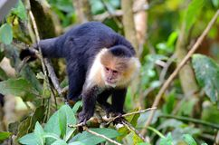 White-headed capuchin monkey. Monteverde, Costa Rica royalty free stock photo