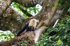 White-headed capuchin monkey. Monteverde, Costa Rica Royalty Free Stock Photo