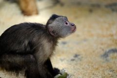 White-headed Capuchin New World monkey of the subfamily Cebinae. Photography of nature and wildlife royalty free stock photos