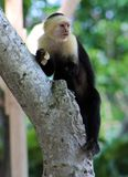 White headed capuchin one hand spider monkey in Costa Rica. White headed capuchin one hand spider monkey hanging in a tree in Costa Rica royalty free stock images
