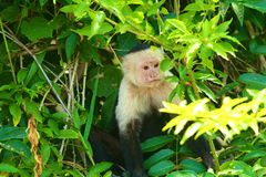 White-headed capuchin, peering through the jungle. The white-headed capuchin (Cebus capucinus), also known as the white-faced capuchin or white-throated capuchin stock photo