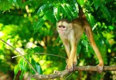 White headed capuchin Royalty Free Stock Image