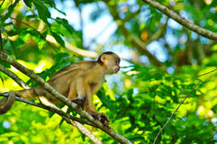 White headed capuchin. In the rain forest near Manaus, Brazil stock photography