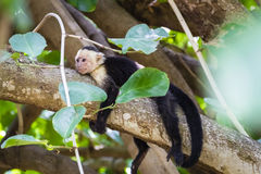 White-headed capuchin relaxing in a tree - Cebus capucinus. Also known as the white-faced capuchin or white-throated capuchin - Palo Verde National Park Royalty Free Stock Photography