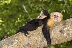 White-headed capuchin`s family. The family of white-headed capuchins Cebus imitator in the tropical forest, Costa Rica stock images