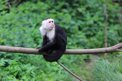 White-headed capuchin. Sitting on the branch stock image