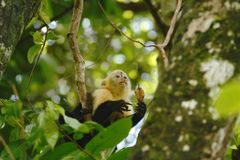 White-headed Capuchin sitting on tree branch in tropical rain forest, Costa Rica, Central America, cute black and white monkey. In natural environment, wildlife stock photos