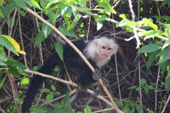 White-headed capuchin, swinging a branch. The white-headed capuchin (Cebus capucinus), also known as the white-faced capuchin or white-throated capuchin found in stock photo