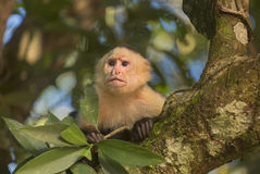 White-headed capuchin in a tree Stock Photography