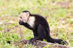 White-headed capuchin trying food - Cebus capucinus. White-headed capuchin eating - Cebus capucinus - also known as the white-faced capuchin or white-throated Stock Photography