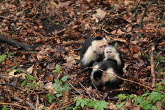 White-headed capuchin Stock Photos