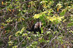 White-headed capuchin, yum. The white-headed capuchin (Cebus capucinus), also known as the white-faced capuchin or white-throated capuchin found in Central stock photography