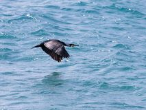 White-headed cormorant flies low over the Mediterranean Sea in search of prey royalty free stock images