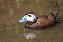 White-headed duck stock photo