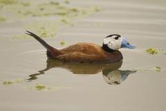 Free White-headed Duck Royalty Free Stock Photos - 30034058
