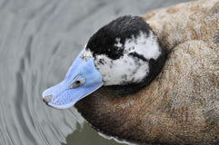 White-headed Duck. The head of a male White-headed Duck (Oxyura leucocephala) showing the unusual blue bill Stock Images