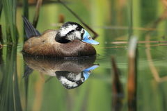 White-headed duck royalty free stock images