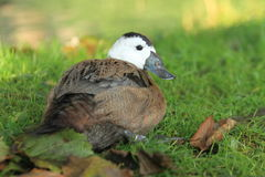 White-headed duck Royalty Free Stock Photo