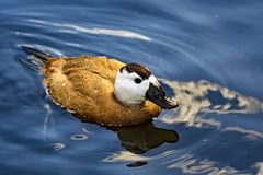 White headed duck, male swimming forwards, in North West wetlands. royalty free stock photography