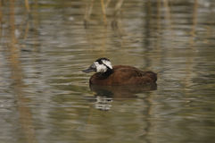 White-headed Duck , Oxyura leucocephala Royalty Free Stock Images