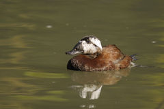 White-headed Duck , Oxyura leucocephala Royalty Free Stock Photography