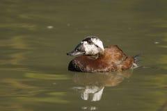 White-headed Duck , Oxyura leucocephala Royalty Free Stock Photography