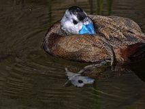White-headed duck, Oxyura leucocephala, has a beautiful blue beak. The White-headed duck, Oxyura leucocephala, has a beautiful blue beak Stock Images