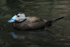 White-headed duck (Oxyura leucocephala) Stock Photos