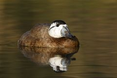 White headed duck,Oxyura leucocephala. White headed duck Oxyura leucocephala, male, native to Spain, UK Stock Photo