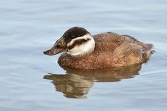 White headed duck oxyura leucocephala. Portrait of a female white headed duck oxyura leucocephala swimming in the water royalty free stock photography
