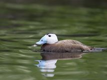 White-headed duck, Oxyura leucocephala. Single male on water, captive, June 2018 Stock Images