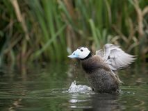 White-headed duck, Oxyura leucocephala. Single male on water, captive, June 2018 Stock Photography