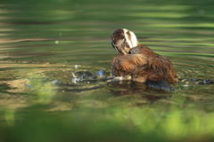 White-headed duck Royalty Free Stock Photography