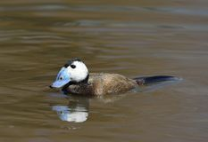 White-headed Duck. Oxyura leucocephala Male on water Stock Photography