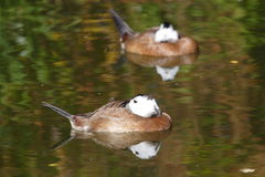White headed ducks. Resting on a lake royalty free stock photos