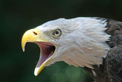 White headed eagle. Profile portrait of a White headed or Bald eagle (Haliaeetus leucocephalus) screaming with open beak Stock Photos