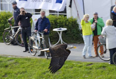 White-headed eagle flying before tourists. Zingst, Germany, 2013 royalty free stock images
